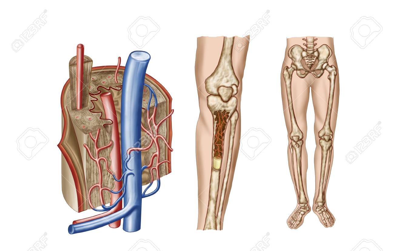 Anatomy Of Human Bone Marrow. Stock Photo, Picture And Royalty Free ...