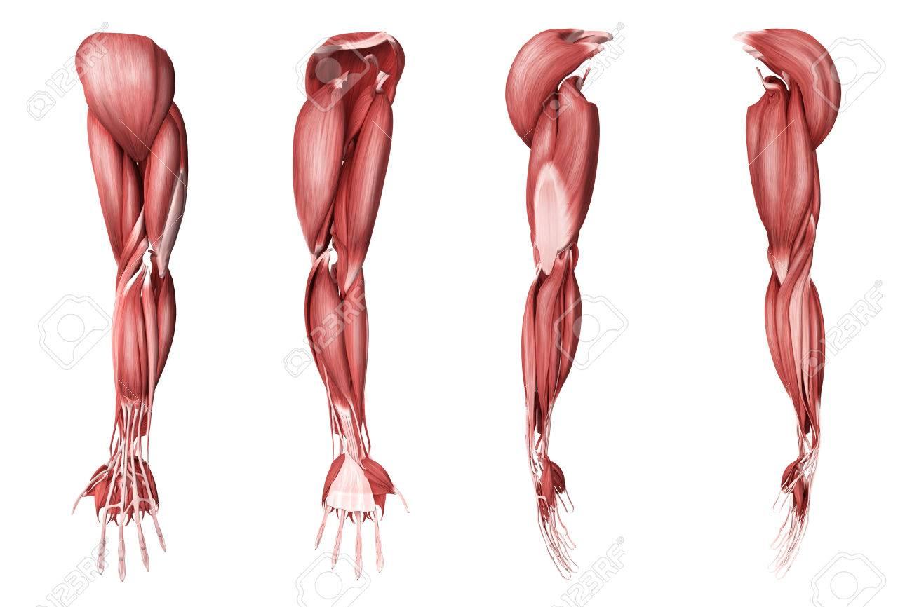 人間の腕の筋肉は4 つのサイド ビューの医療イラスト の写真素材