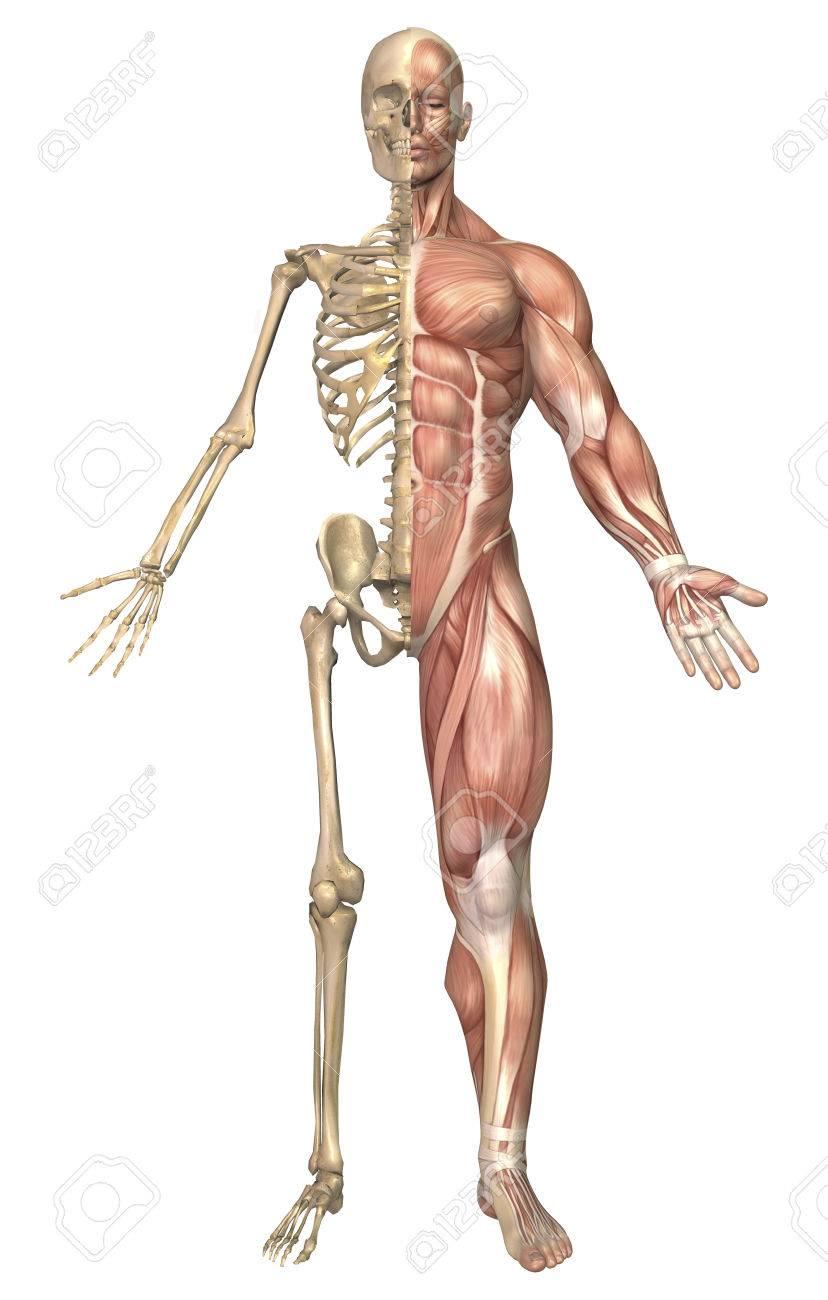 Ilustración Médica Del Esqueleto Humano Y Sistema Muscular, Vista ...