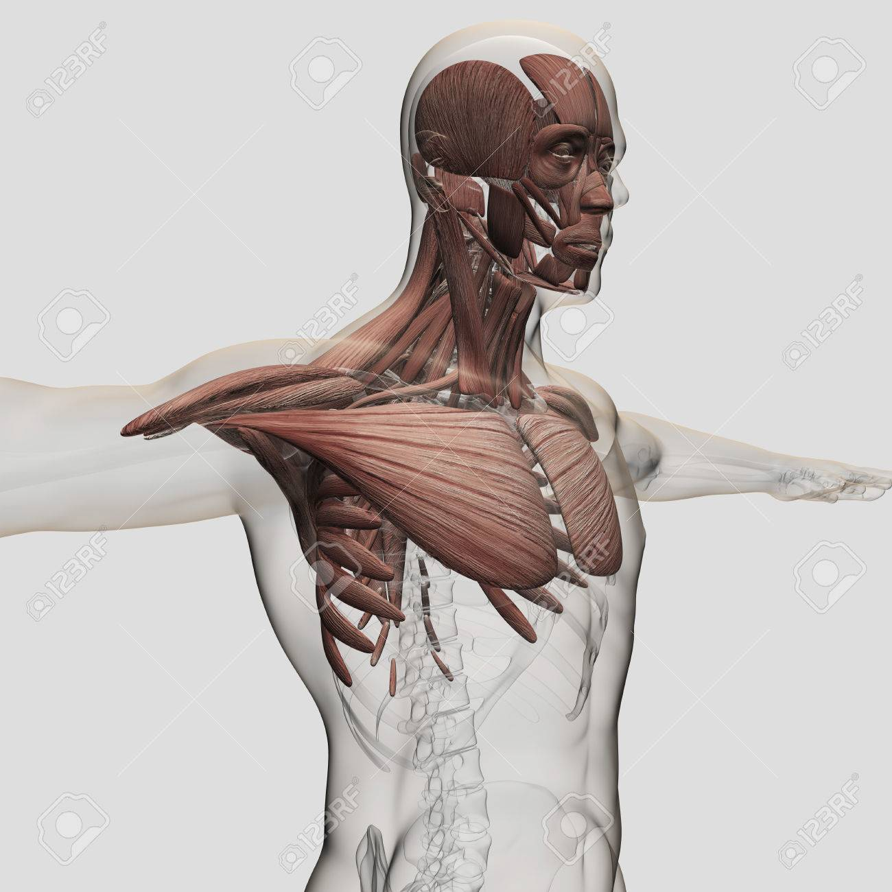 Anatomy Of Male Muscles In Upper Body, Anterior View. Stock Photo ...