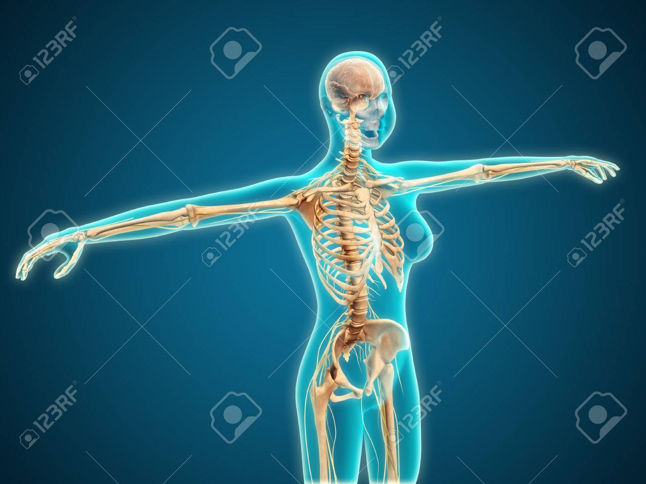 Röntgenaufnahme Der Weiblichen Körper Zeigt Skelett-System ...