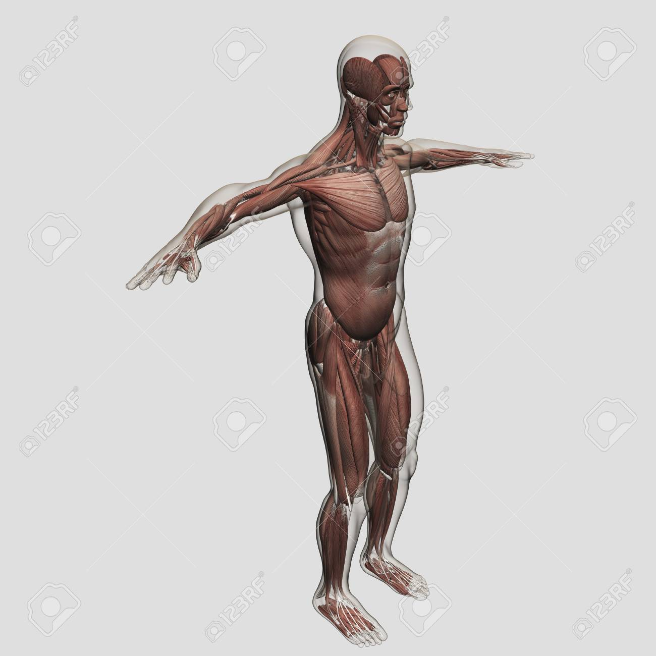 Anatomy Of Male Muscular System, Side View. Stock Photo, Picture And ...