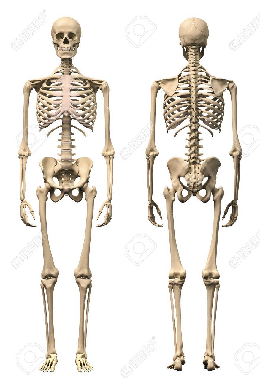 Anatomy Of Male Human Skeleton, Front View And Back View. Stock ...