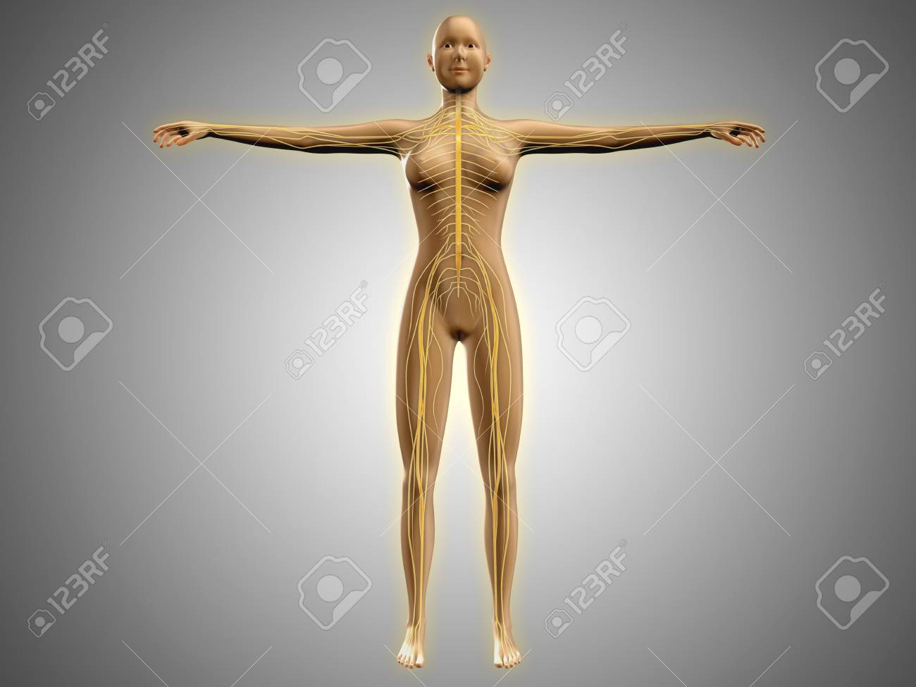 Anatomy Of Female Body With Nervous System Stock Photo Picture And