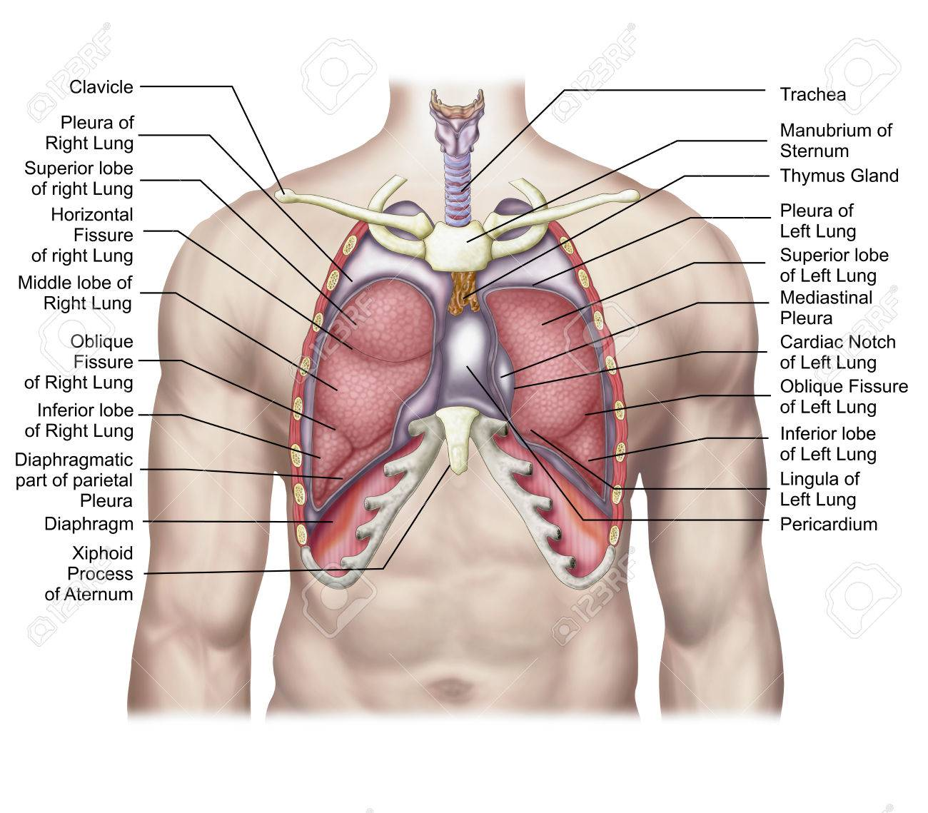 Anatomy Of Human Lungs In Situ Stock Photo Picture And Royalty