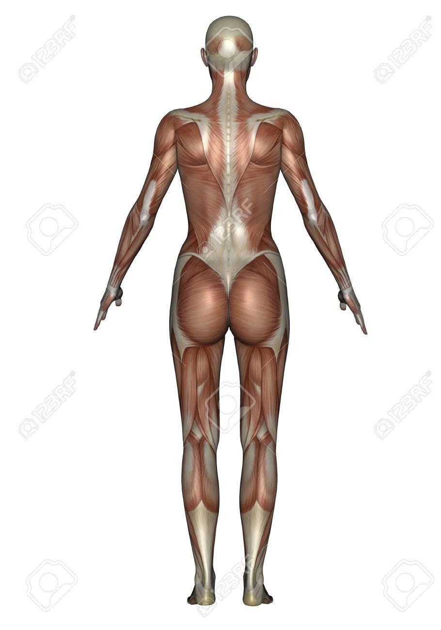 Anatomía Del Sistema Muscular Femenino, Vista Posterior. Fotos ...