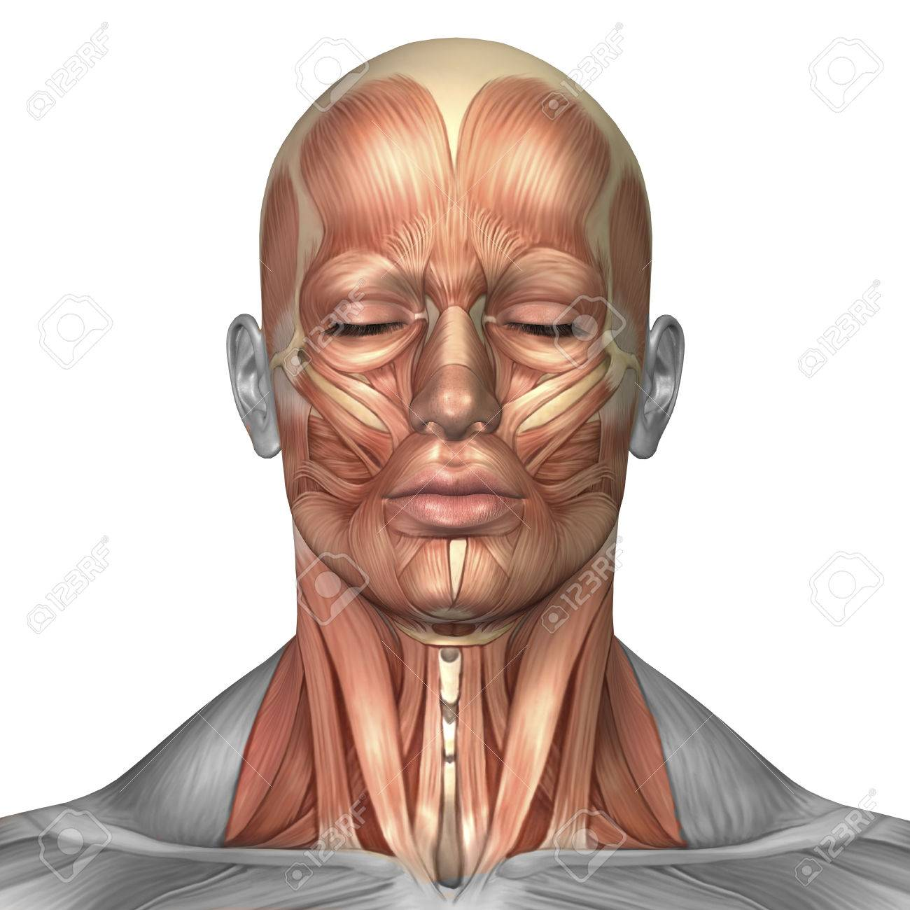 Anatomy Of Human Face And Neck Muscles Front View Stock Photo