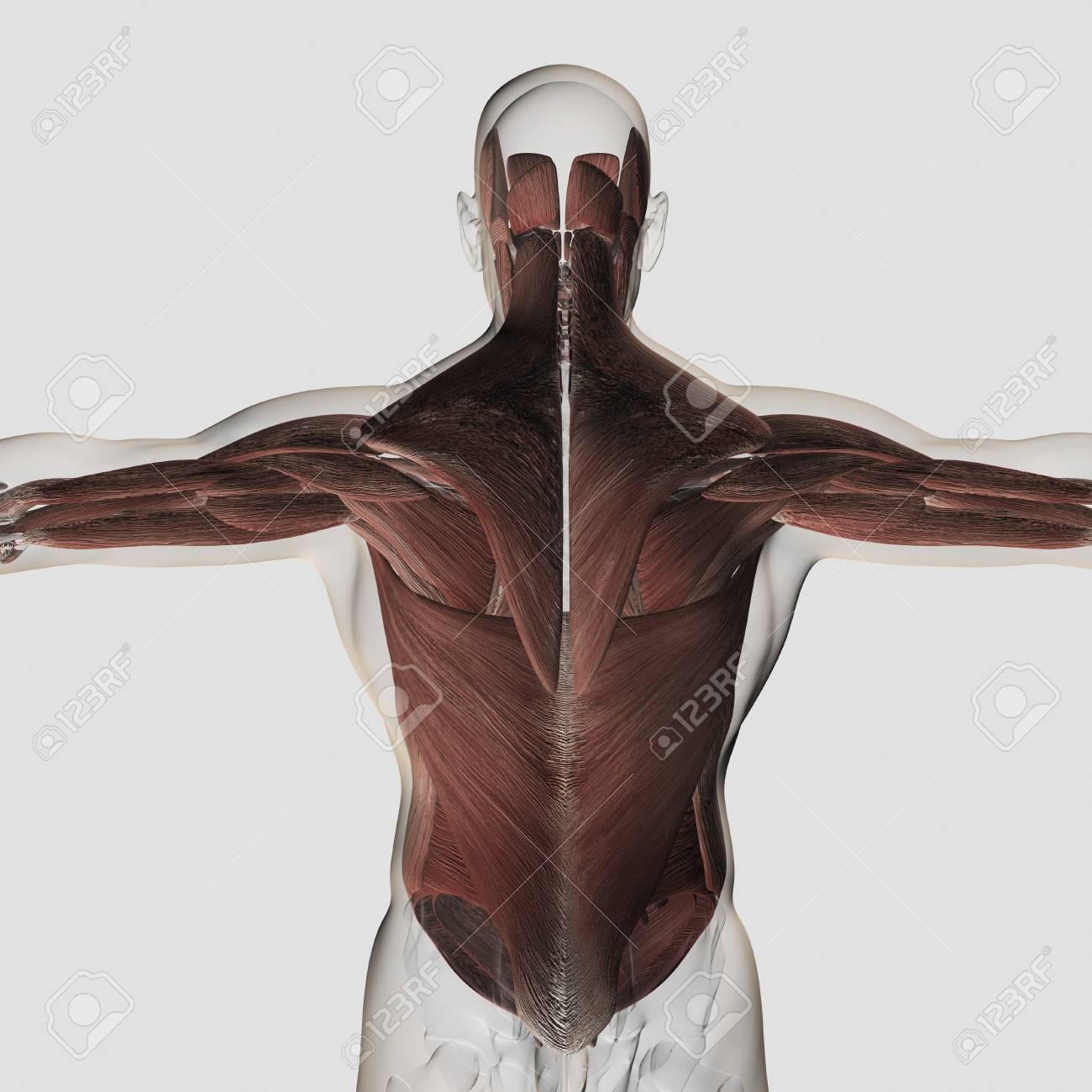 Lujo Diagrama De Músculos De La Espalda Superior Inspiración ...