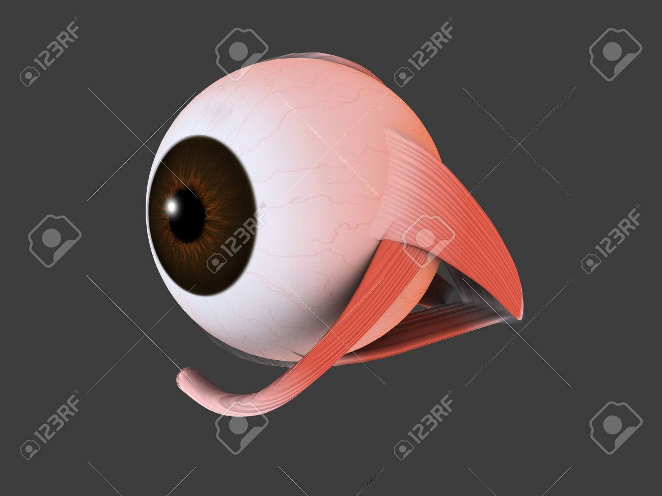 Conceptual Image Of Human Eye Anatomy Stock Photo Picture And