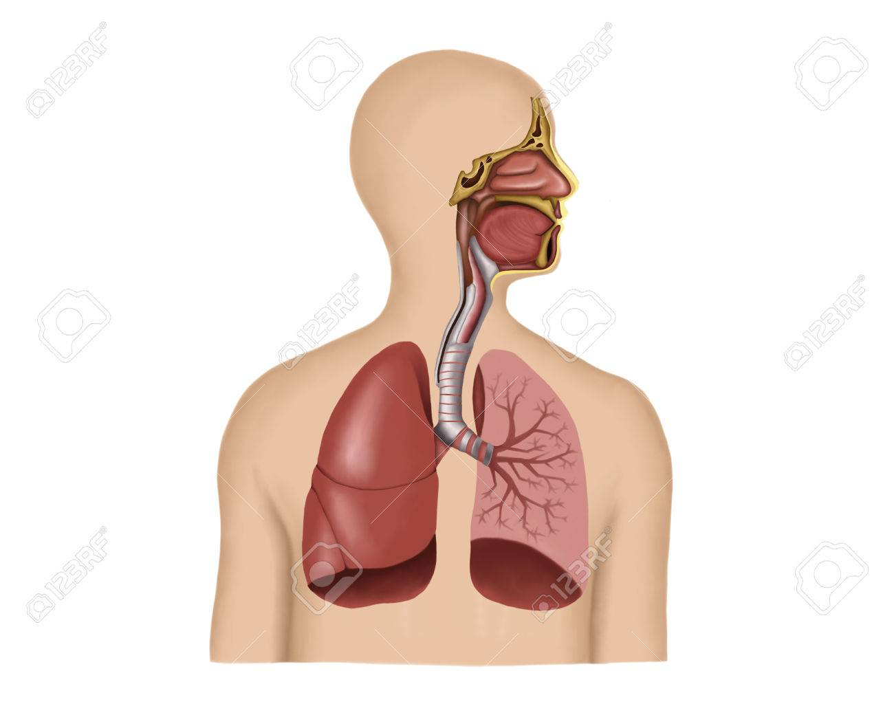 Anatomy Of Human Respiratory System. Stock Photo, Picture And ...