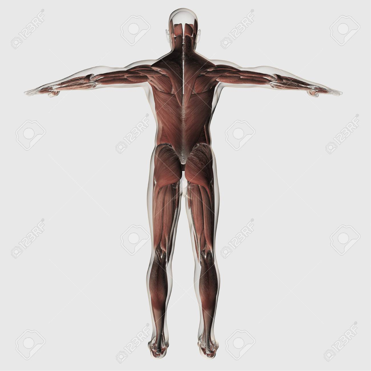 Anatomy Of Male Muscular System, Posterior View. Stock Photo ...