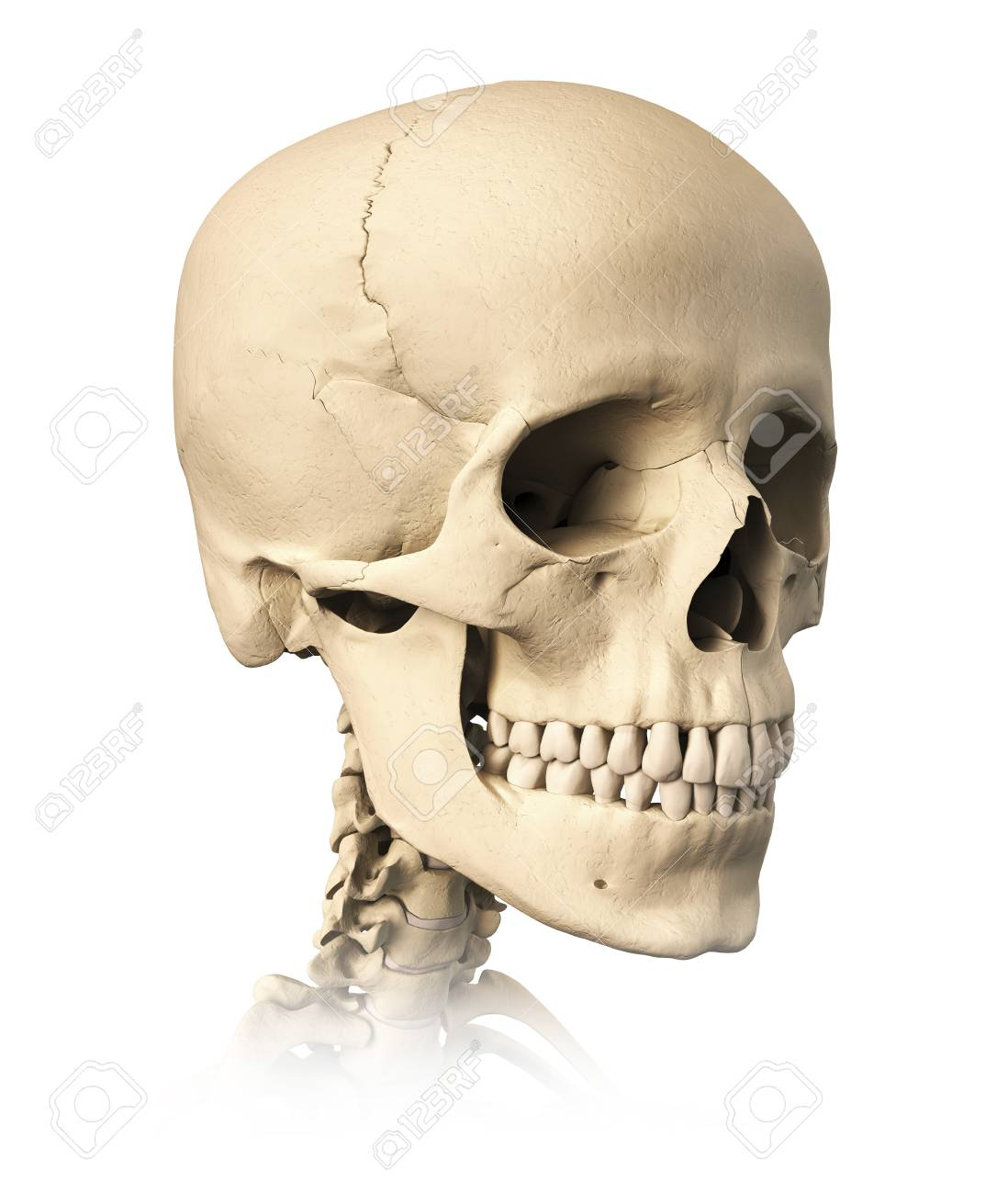 Anatomy Of Human Skull Side View Stock Photo Picture And Royalty