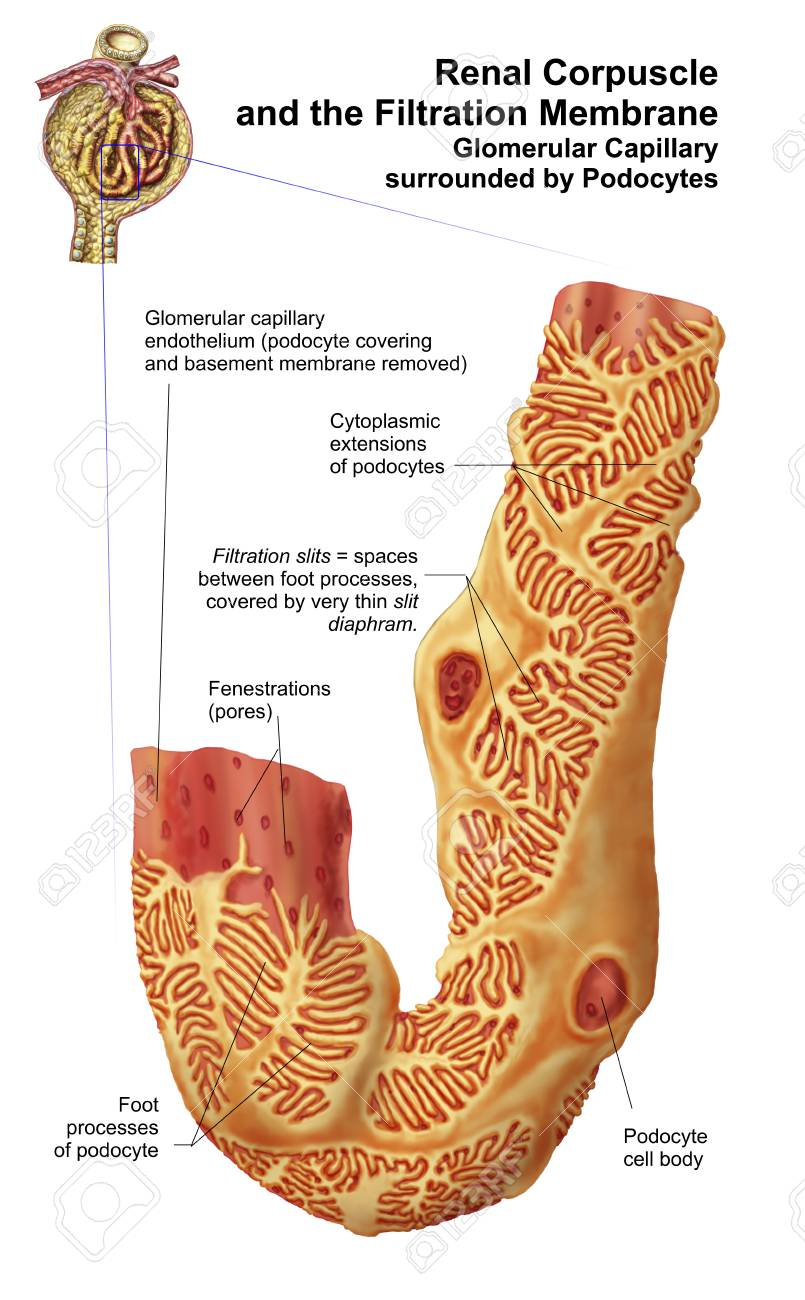 Renal Corpuscle And The Filtration Membrane. Glomerular Capillary ...
