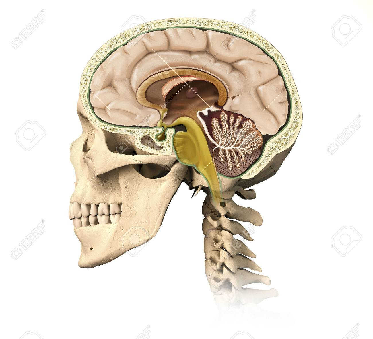 Cutaway View Of Human Skull Showing Brain Details, Side View. Stock ...