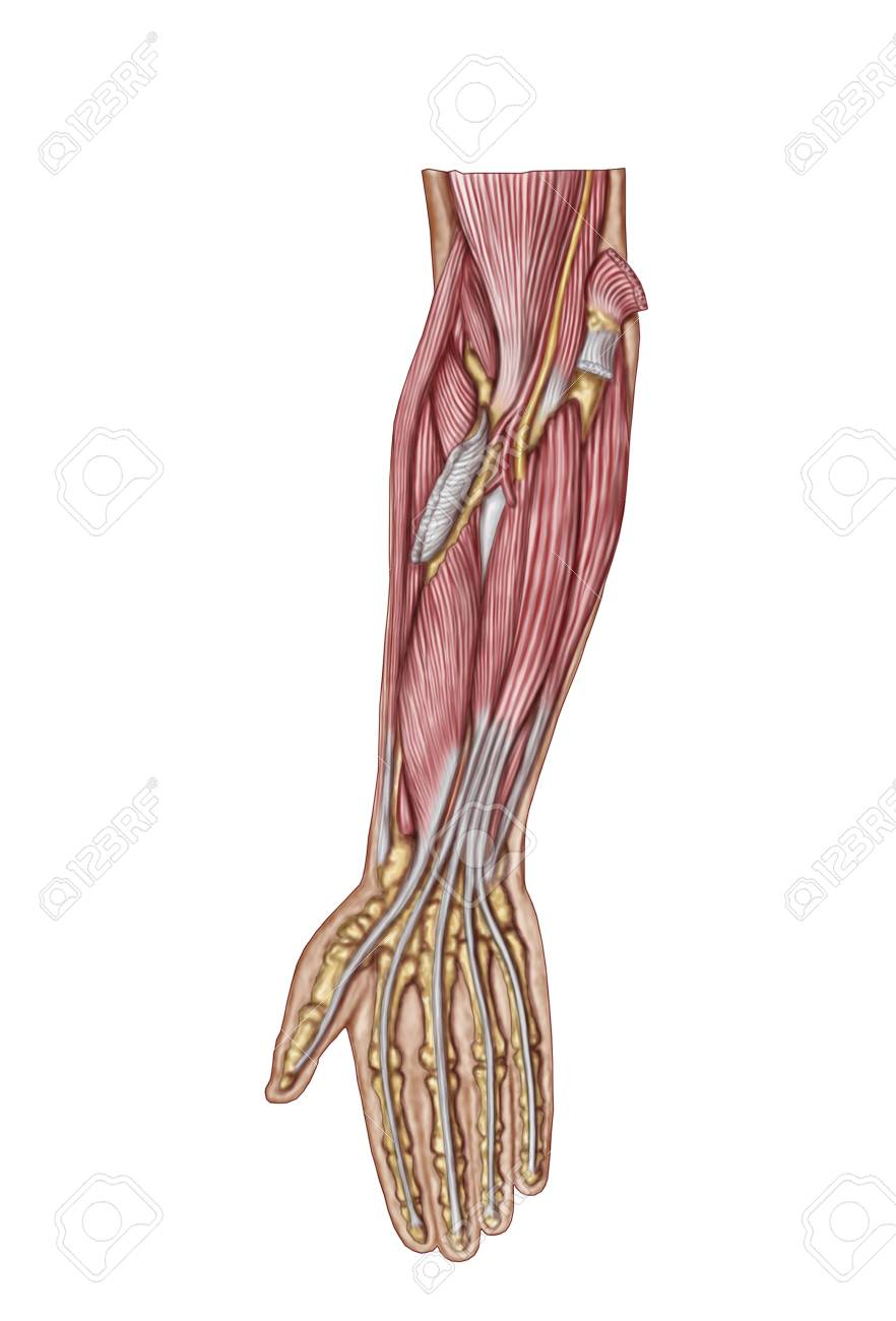 Anatomy Of Human Forearm Muscles, Deep Anterior View. Stock Photo ...