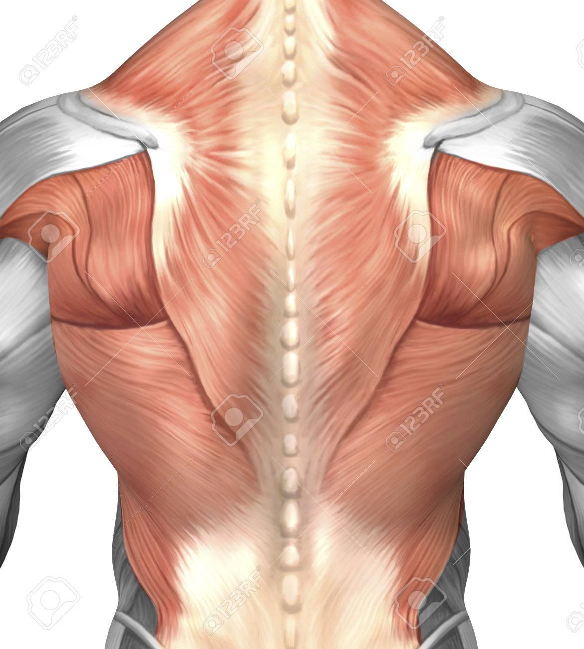 Músculo Masculino Anatomía De La Espalda Humana. Fotos, Retratos ...