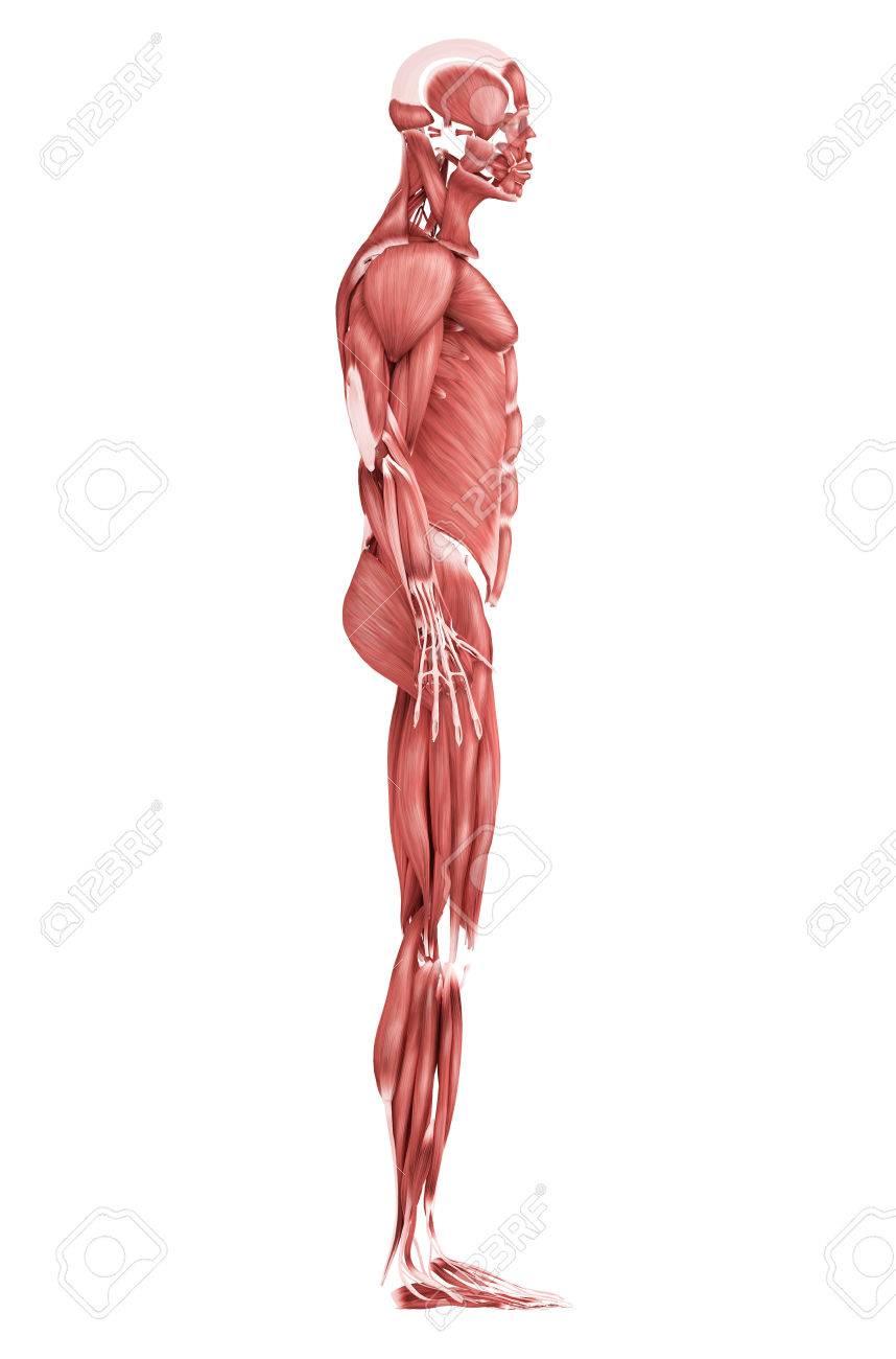 Atemberaubend Menschliche Anatomie Und Physiologie Muskelsystem ...