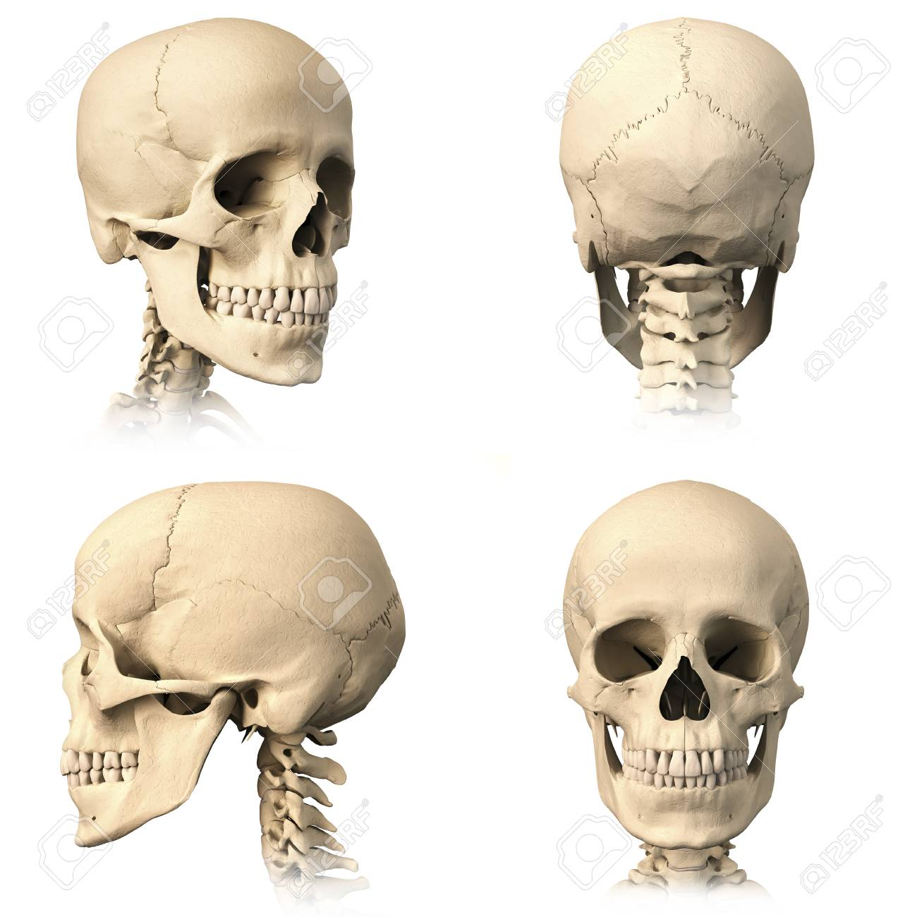 Anatomy Of Human Skull From Different Angles Stock Photo Picture