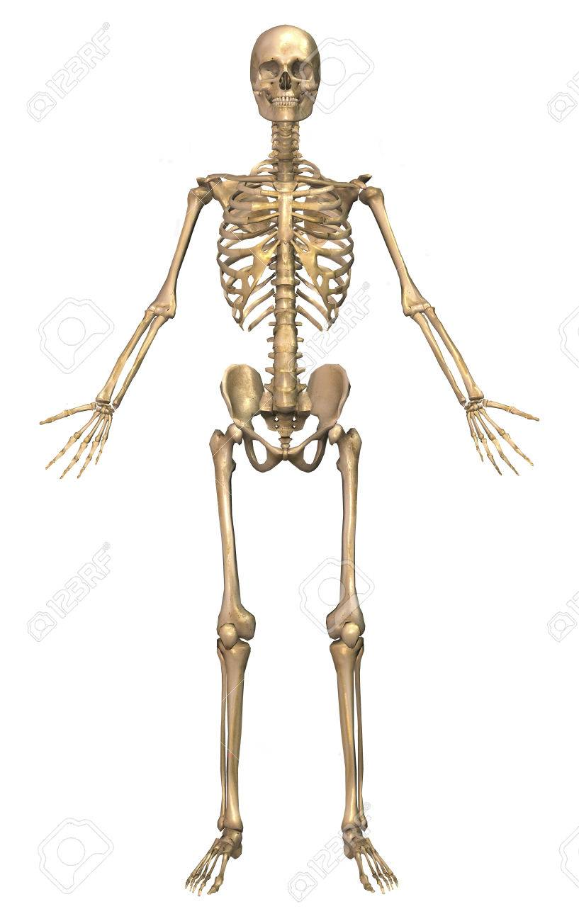 Human skeletal system front view stock photo picture and royalty human skeletal system front view stock photo 78295024 ccuart Image collections