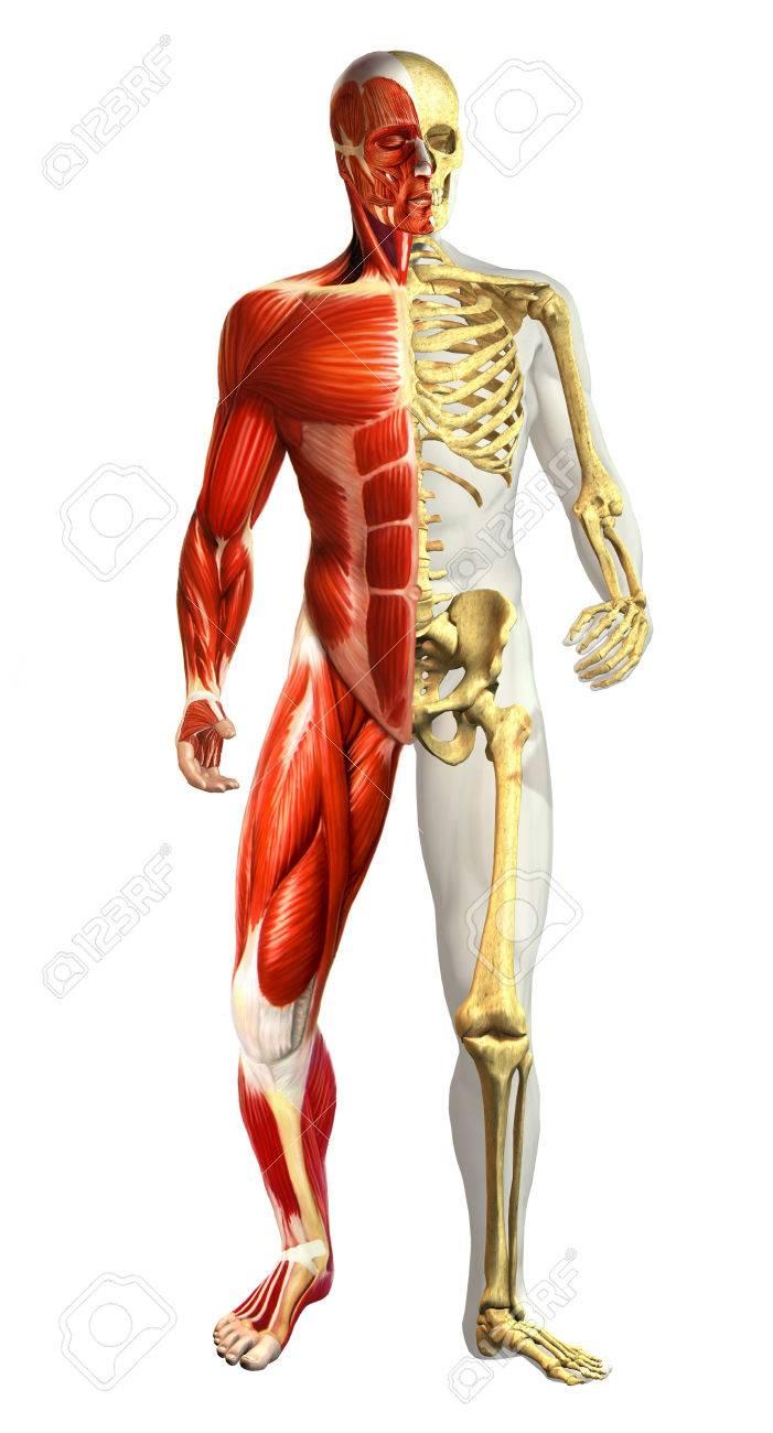 Anatomía Del Cuerpo Masculino Con Representaciones Mitad Esqueleto Y ...