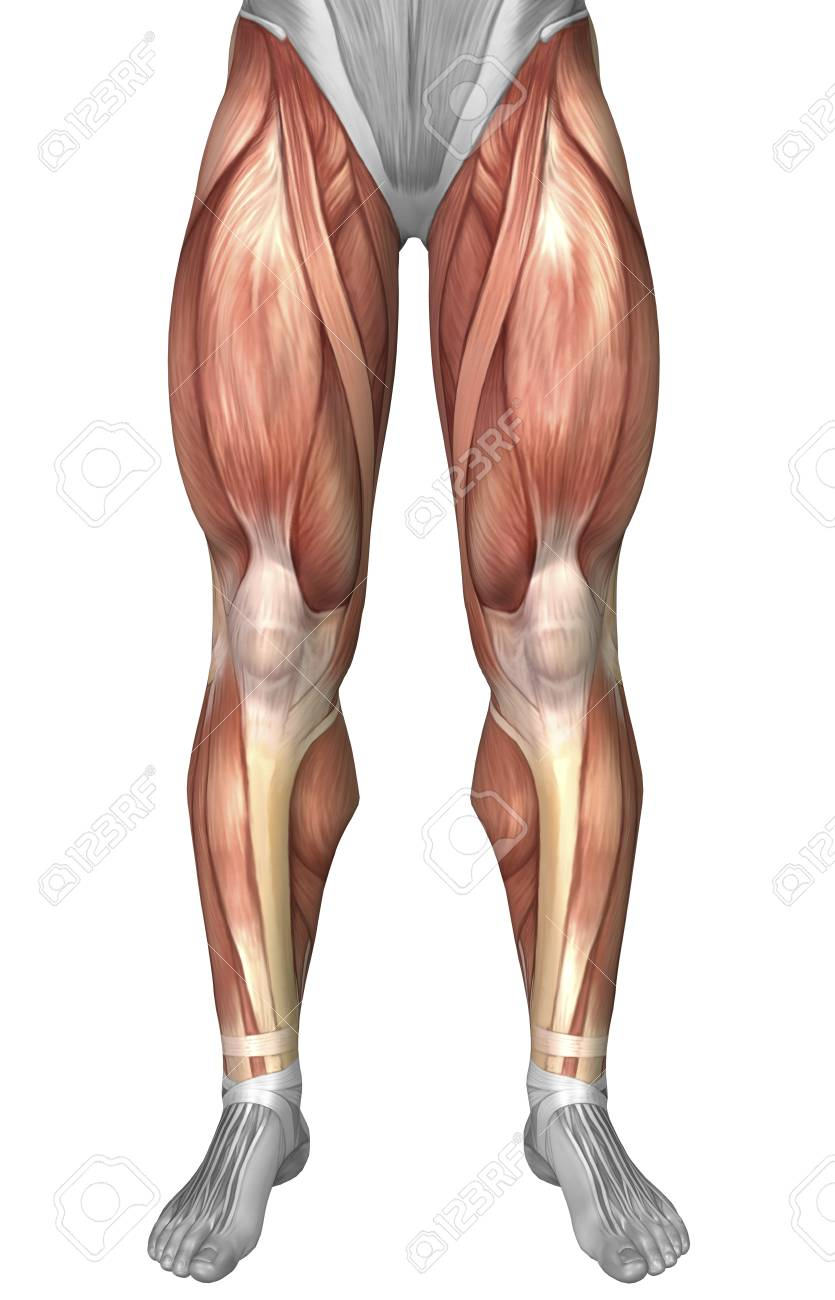 Diagram Illustrating Muscle Groups On Front Of Human Legs Stock