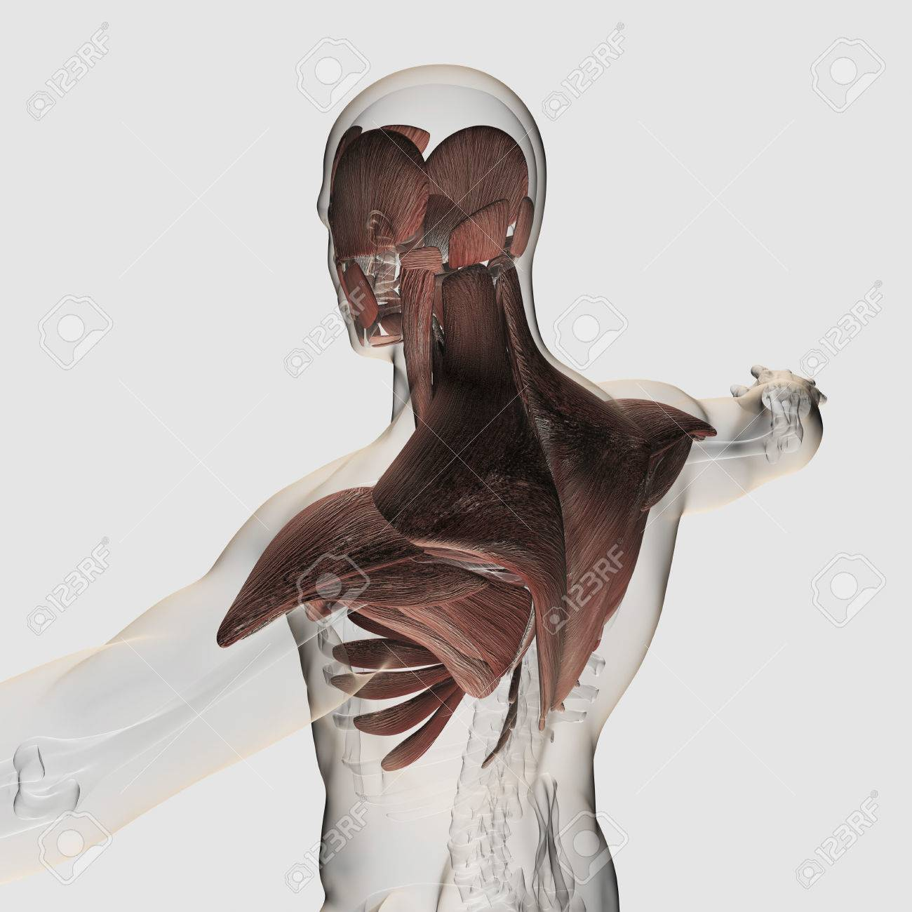 Anatomy Of Male Muscles In Upper Body, Posterior View. Stock Photo ...