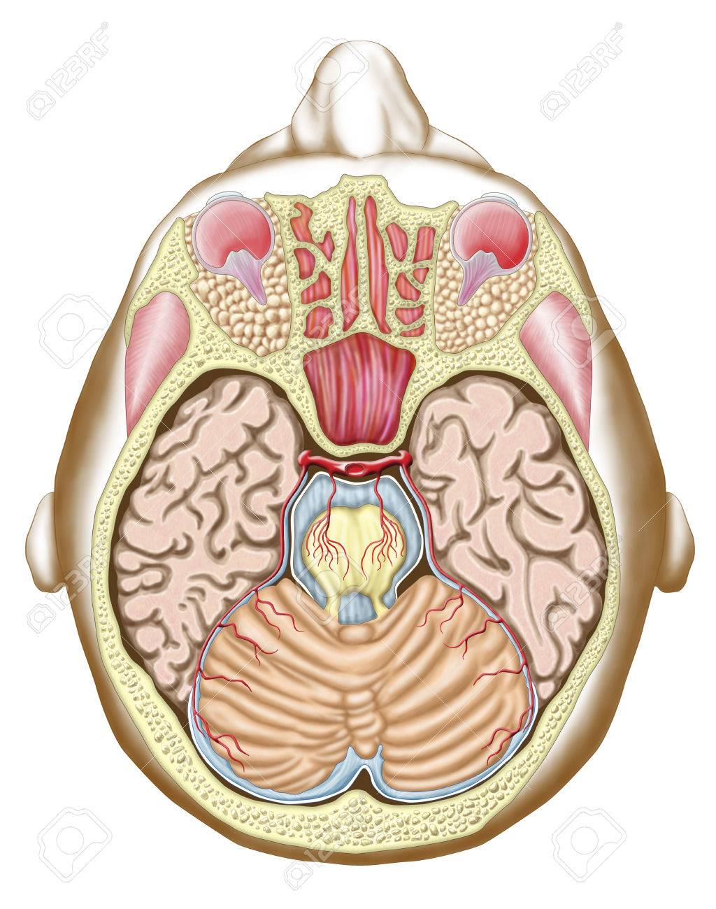 Transverse Section Of The Midbrain. Stock Photo, Picture And Royalty ...
