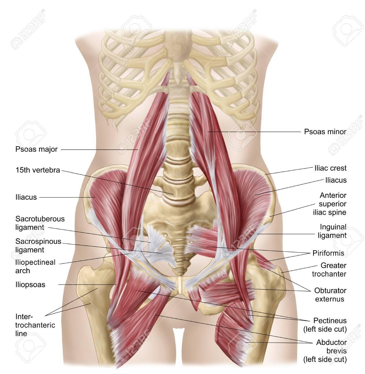 Anatomía Del Iliopsoa, A Menudo Referido Como Los Músculos De La ...