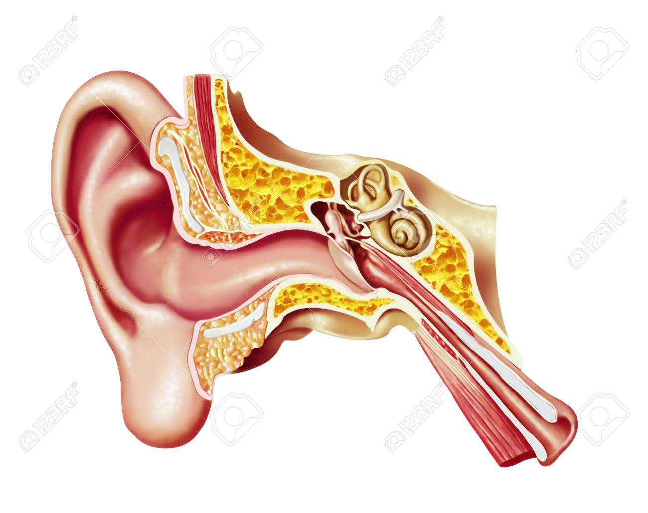 Cutaway diagram of human ear stock photo picture and royalty cutaway diagram of human ear stock photo 78295274 pooptronica Gallery