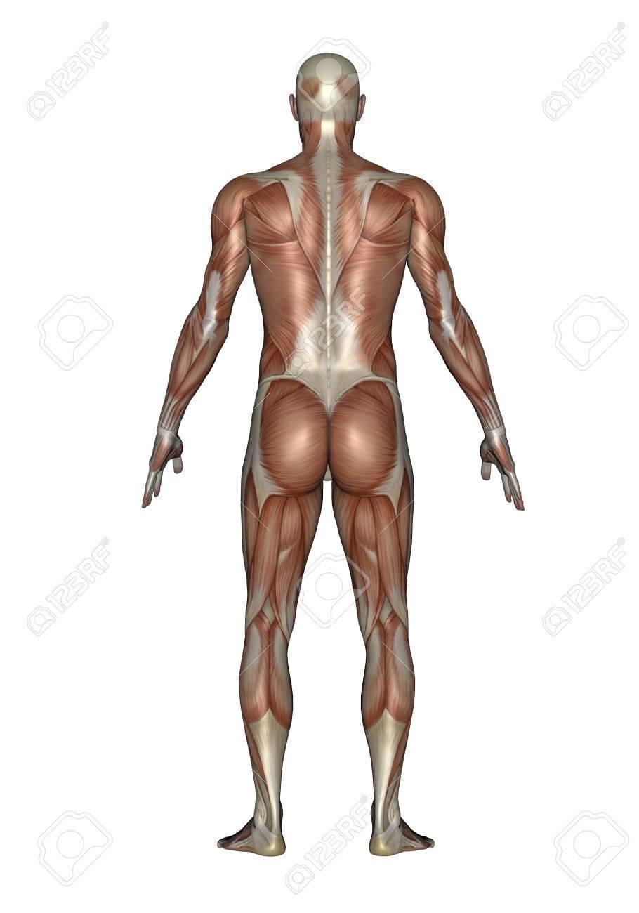 Anatomía Del Sistema Muscular Masculino, Vista Posterior. Fotos ...