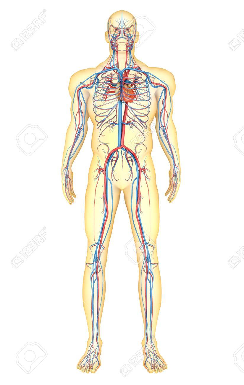 Anatomy Of Human Body And Circulatory System Front View Stock
