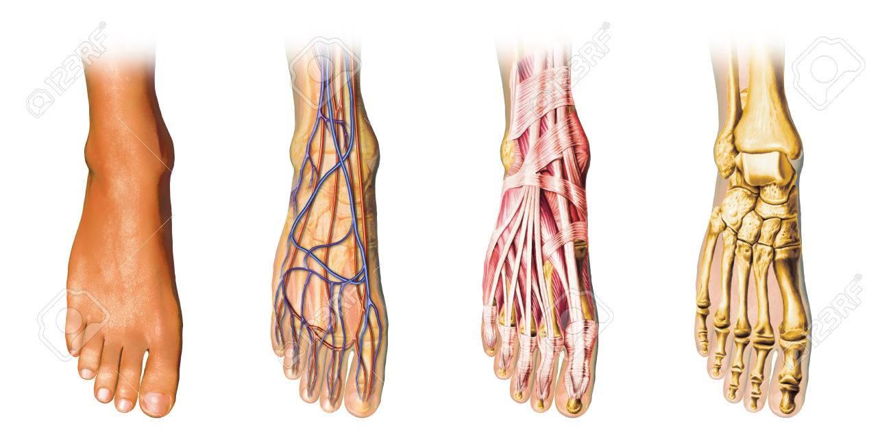 Anatomía Del Pie Humano Que Muestra La Piel, Las Venas, Las Arterias ...