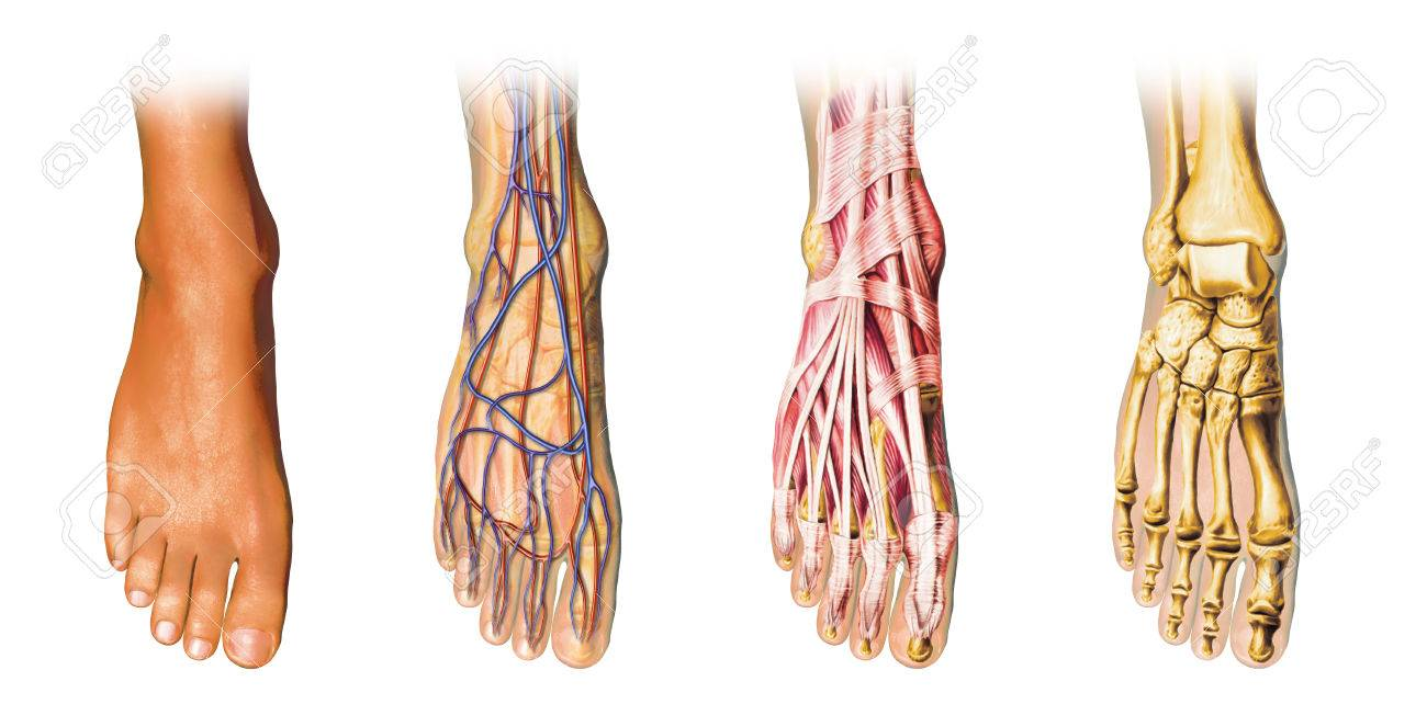 Human Foot Anatomy Showing Skin, Veins, Arteries, Muscles, And ...