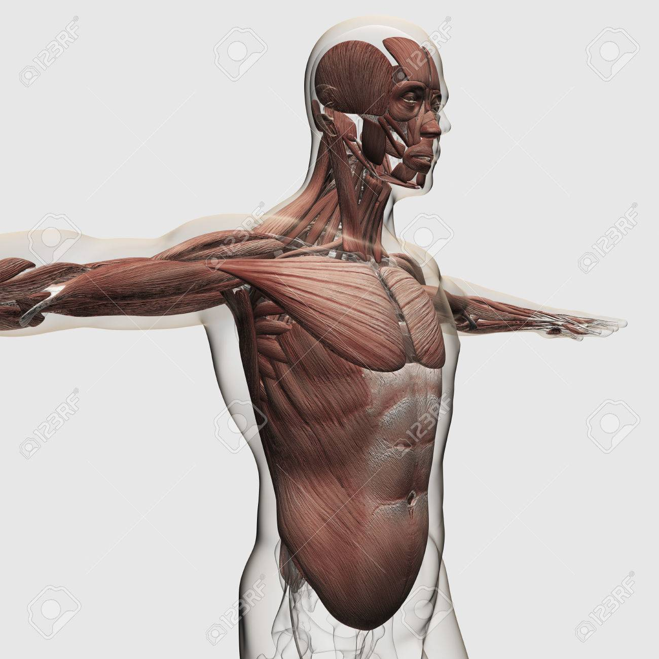 Anatomy Of Male Muscles In Upper Body, Side View. Stock Photo ...