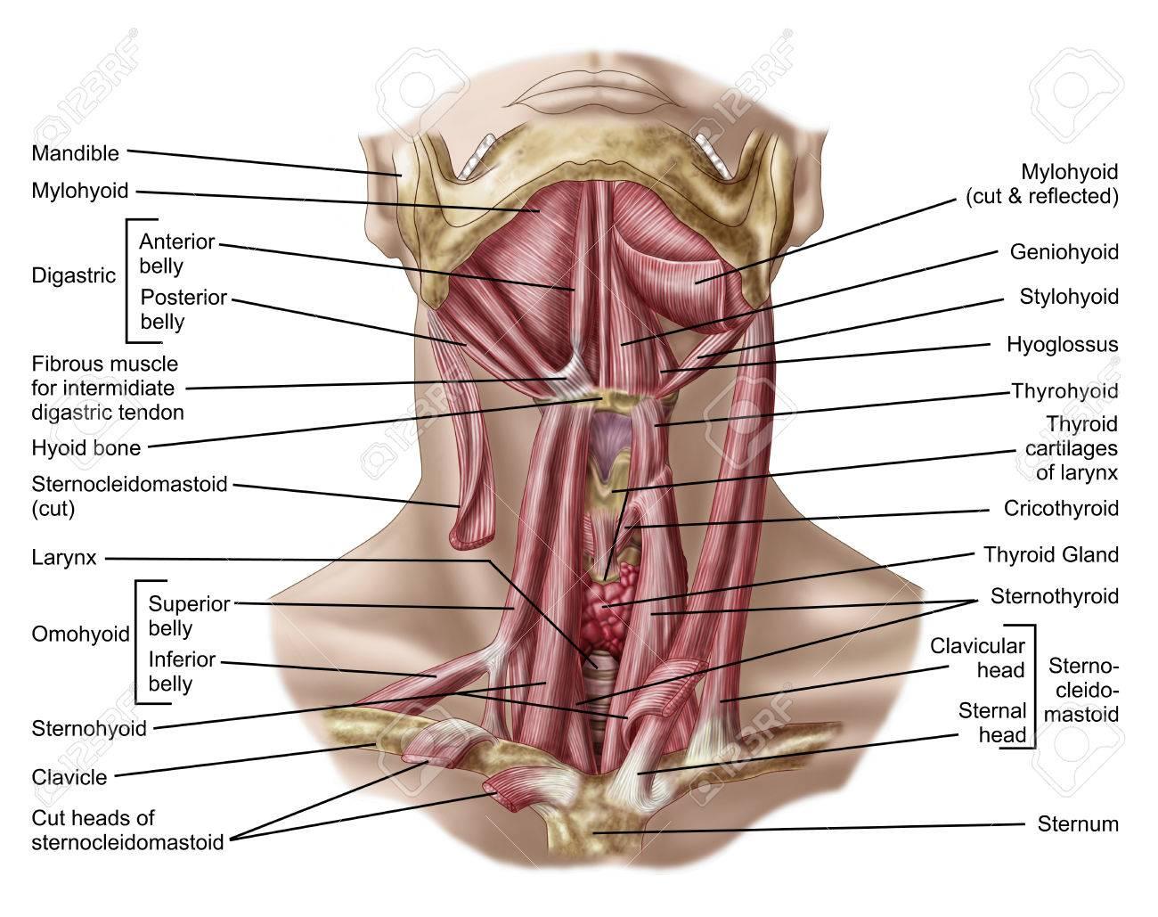 Anatomía Del Hueso Hioides Humano Y Músculos, Vista Anterior. Fotos ...