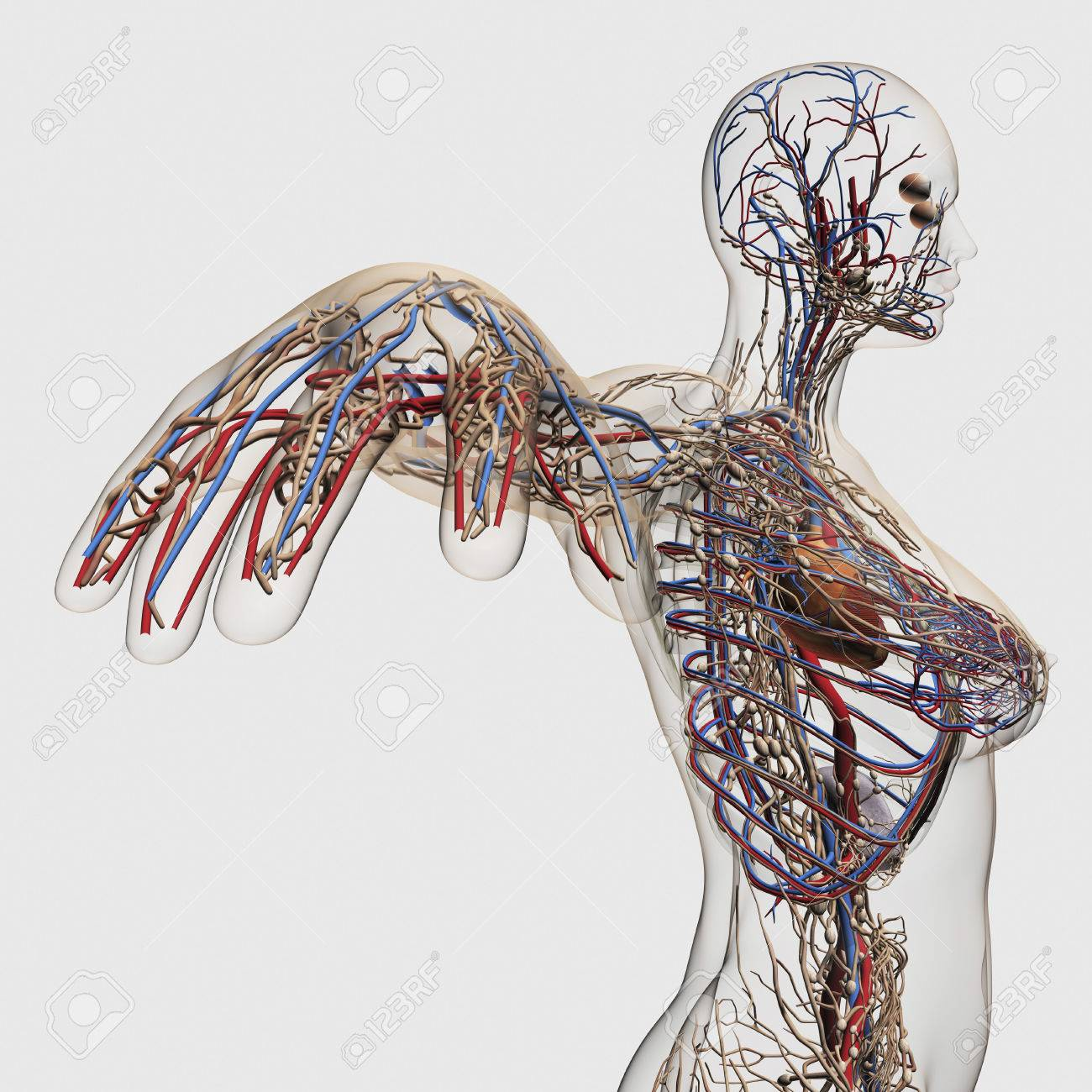 Medical Illustration Of Arteries, Veins And Lymphatic System.. Stock ...