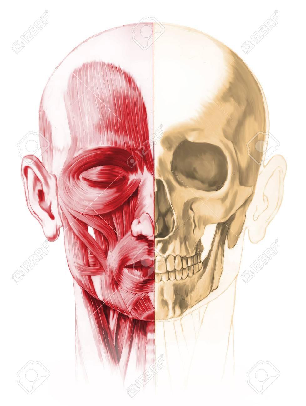 Encantador Músculos De La Cabeza Humana Imágenes - Anatomía de Las ...