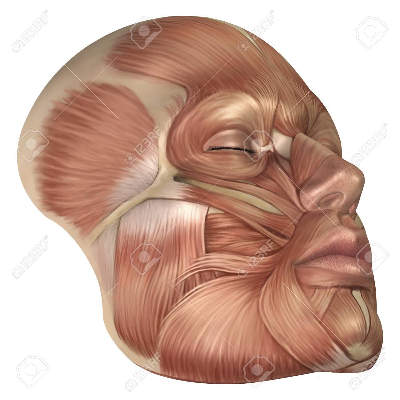 Anatomy Of Human Face Muscles Stock Photo Picture And Royalty Free