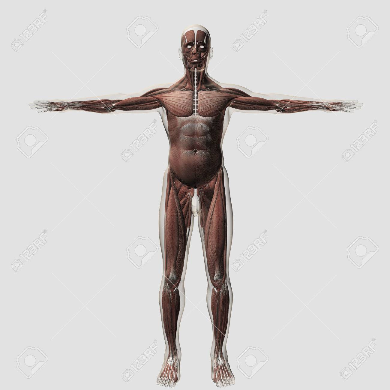 Anatomy Of Male Muscular System Front View Stock Photo Picture