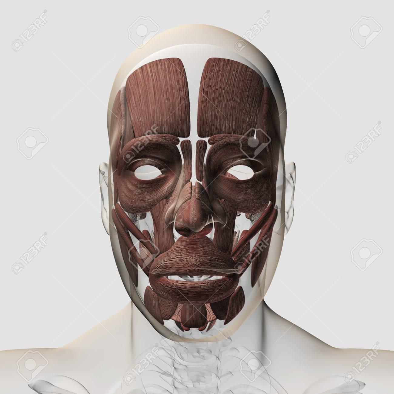 Ungewöhnlich Gesichtsmuskeln Diagramm Zeitgenössisch - Physiologie ...