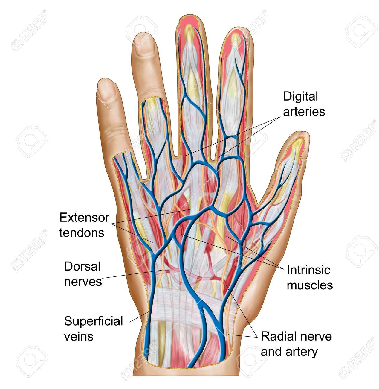 Anatomy Of Back Of Human Hand Stock Photo Picture And Royalty Free