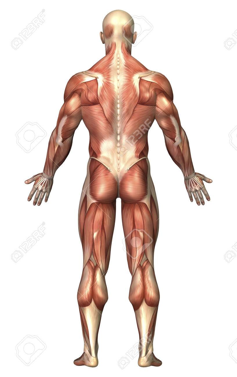 Anatomy Of Male Muscular System, Back View. Stock Photo, Picture And ...