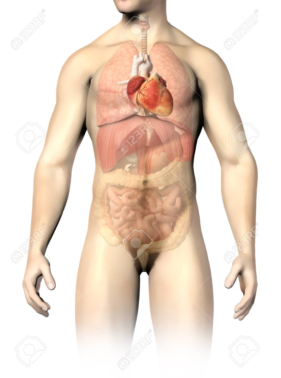 Male Anatomy Of Internal Organs, With Heart Highlighted And Rest ...