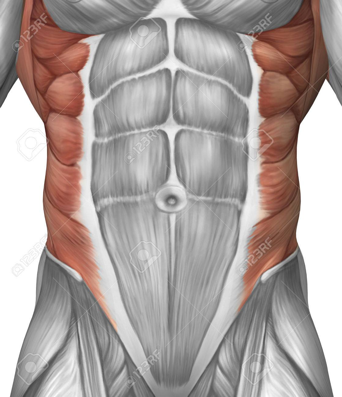 Male Muscle Anatomy Of The Abdominal Wall Stock Photo Picture And