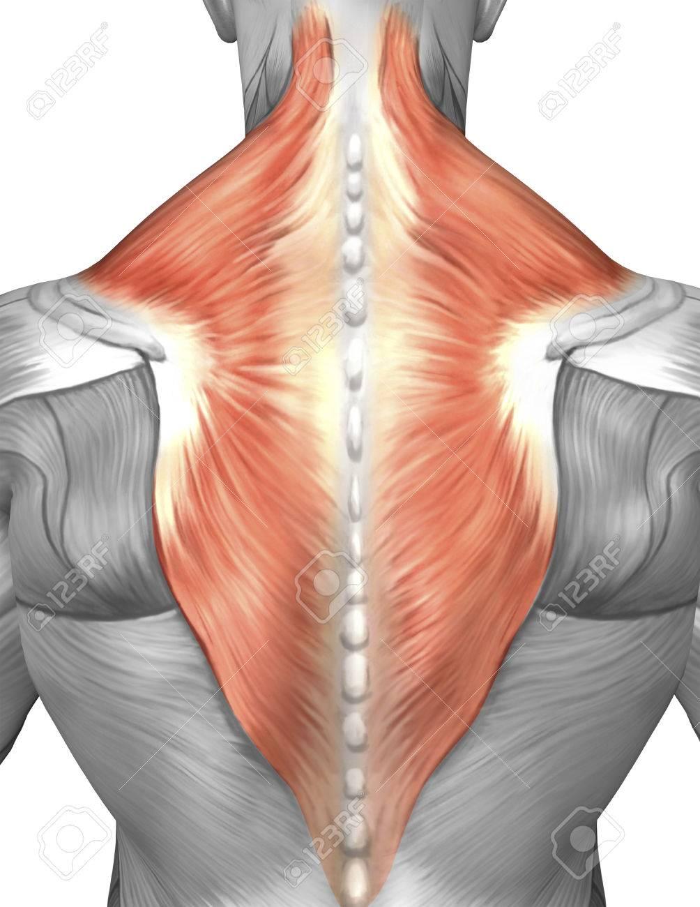 Músculos De La Espalda Y El Cuello (músculo Splenius Capitis ...