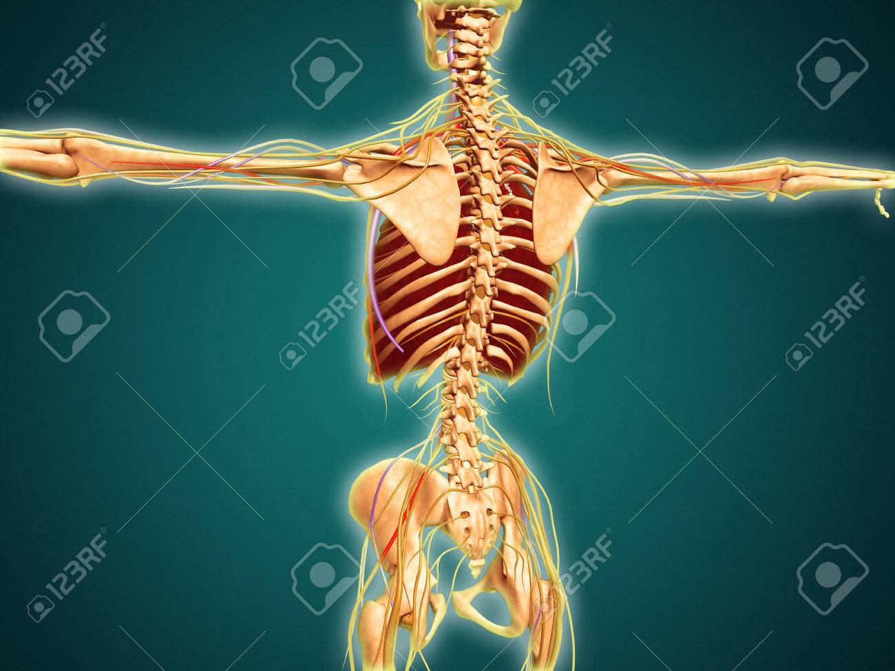 Back view of human skeleton with nervous system arteries and back view of human skeleton with nervous system arteries and veins stock photo ccuart Image collections