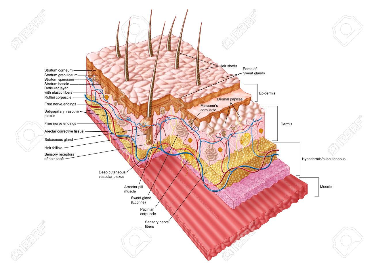Anatomy Of The Human Skin. Stock Photo, Picture And Royalty Free ...