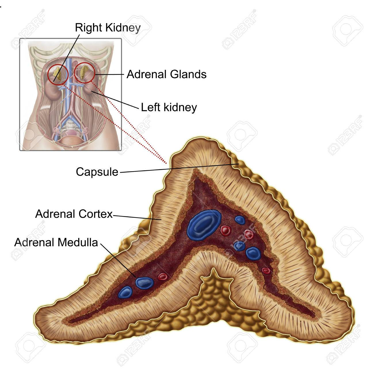 Anatomy Of Adrenal Gland, Transverse Section. Stock Photo, Picture ...