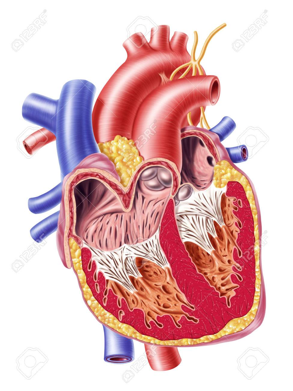 Anatomy Of Human Heart Cross Section With Detailed Internal Stock