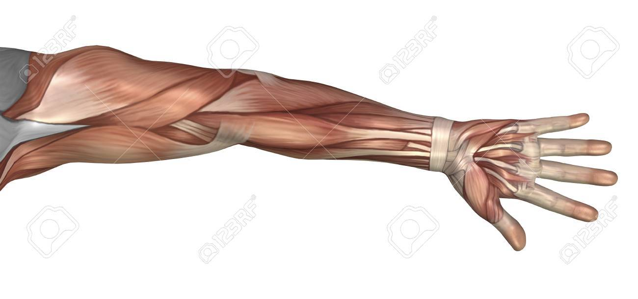 Muscle Anatomy Of The Human Arm Anterior View Stock Photo Picture
